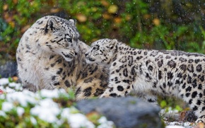 Picture family, pair, IRBIS, snow leopard, kitty, mother