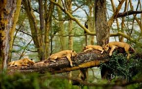 Picture trees, sleep, Savannah, Africa, lions