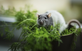 Picture background, color, rat