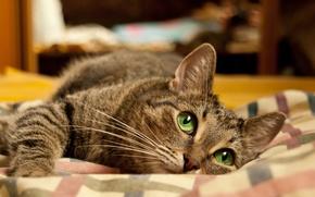 Picture cat, Wallpaper, bed, Lies