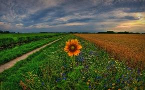 Picture flowers, Holland, Holland, Groningen, Groningen, track, Netherlands, sunflower, Netherlands, field, sunset