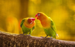 Picture forest, leaves, love, nature, bird, kiss, branch, feathers, beak, parrot, pair, tail, wavy parrot