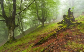 Picture forest, trees, landscape, fog