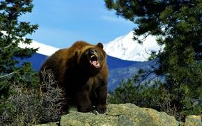 Wallpaper bear, Brown, Animals, nature