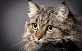 Picture portrait, look, cat, muzzle, cat