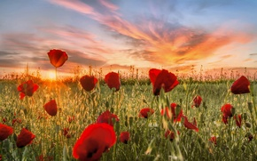 Picture field, clouds, sunset, flowers, nature, meadow, Maki, red
