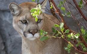 Picture face, predator, Puma, wild cat, Cougar