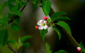 Wallpaper flower, leaves, pink, branch, spring, Bud, Apple