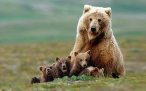 Wallpaper family, bears, bears, grizzly, bear