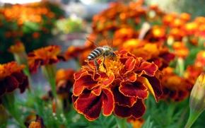 Wallpaper flowers, bee, red