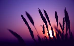 Wallpaper field, the sky, the sun, macro, sunset, The evening, blur, spikelets, ears, lilac
