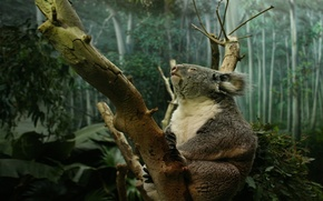 Picture FOREST, TREE, TRUNK, PAWS, CLAWS, KOALA