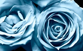 Picture roses, beauty, blue, blue, Roses, beauty