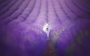 Picture field, look, each, dog, lavender