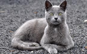 Picture eyes, cat, look, Koshak, Tomcat