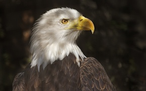 Wallpaper light, bird, shadow, predator, beak, profile, tail, bald eagle