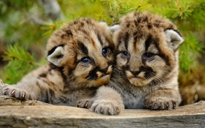 Picture small, Puma, cubs, mountain lion, Cougar