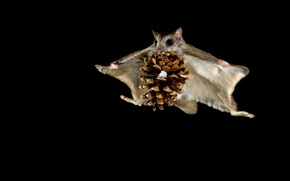 Picture flight, night, protein, bump, flying squirrel