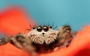 Picture spider, eyes, leaves, orange, paws, vegetation, Jumping Spider, Salticidae, flycatcher spiders
