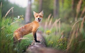 Wallpaper forest, Fox, grass, trees, summer, red, bokeh