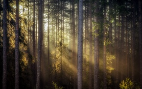 Picture forest, light, nature, morning