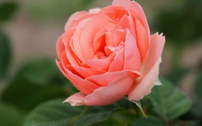 Wallpaper macro, rose, Bud