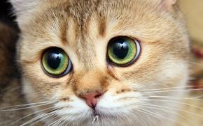 Picture cat, cat, Tomcat, ginger, bigeye
