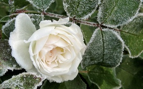 Picture PETALS, FROST, ICE, LEAVES, WHITE, WINTER, MACRO, ROSE
