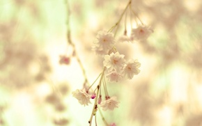 Picture macro, flowers, nature, tenderness, spring, blur, Branch, cream, branch, flowering