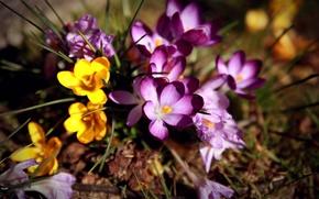 Picture flowers, crocuses, primrose