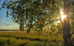 Picture field, the sun, light, birch