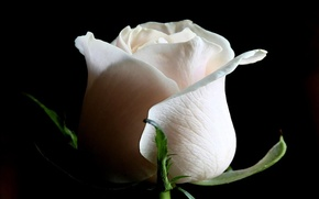 Picture background, rose, white
