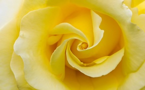 Picture macro, rose, petals, yellow