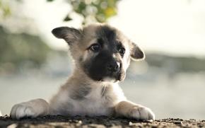 Picture dog, puppy, German Shepherd