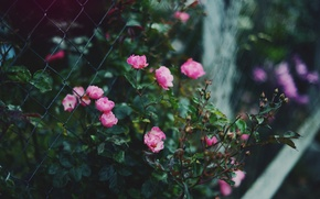 Picture flowers, Bush, roses, fence