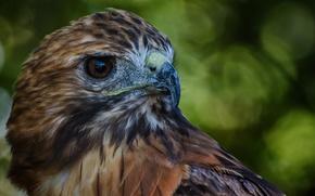 Picture bird, feathers, beak, Falcon