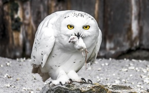 Picture bird, snowy owl, white owl