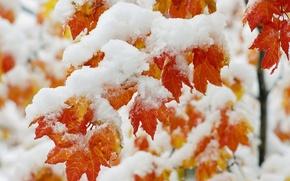 Wallpaper tree, frost, maple, snow, leaves
