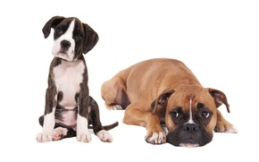 Picture dogs, puppy, white background, friends, boxer