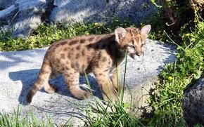 Picture Cougar, predator, mountain lion, Puma, kitty