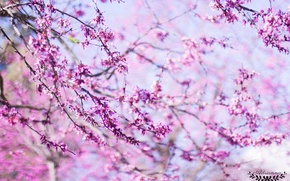 Picture flowers, pink, spring, pink, flowers, spring, lovely, beautiful