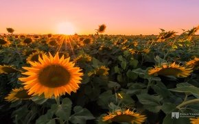 Picture field, macro, sunflowers, sunset, photographer, Kenji Yamamura