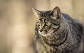 Picture cat, cat, look, background, striped