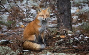 Picture autumn, nature, Fox