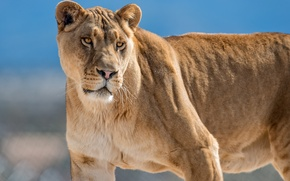 Picture cat, look, lioness
