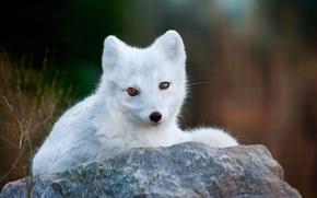 Picture grass, stone, Fox, white, Fox, polar