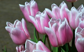Picture macro, tulips, buds