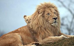 Wallpaper nature, animals, lions