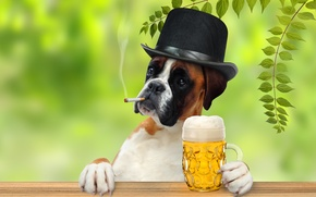 Picture leaves, branches, beer, humor, hat, paws, cigarette, mug, gentleman, Boxer
