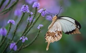 Wallpaper flowers, butterfly, swallowtail, wings, insect